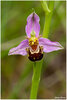 33 Ophrys abeille